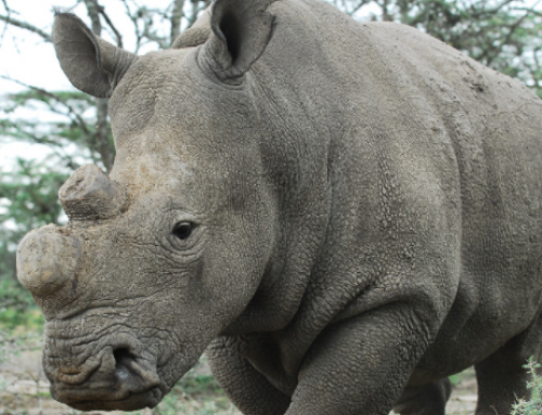 Sudan's Passing: Last Male Northern White Rhino Died March 19, 2018